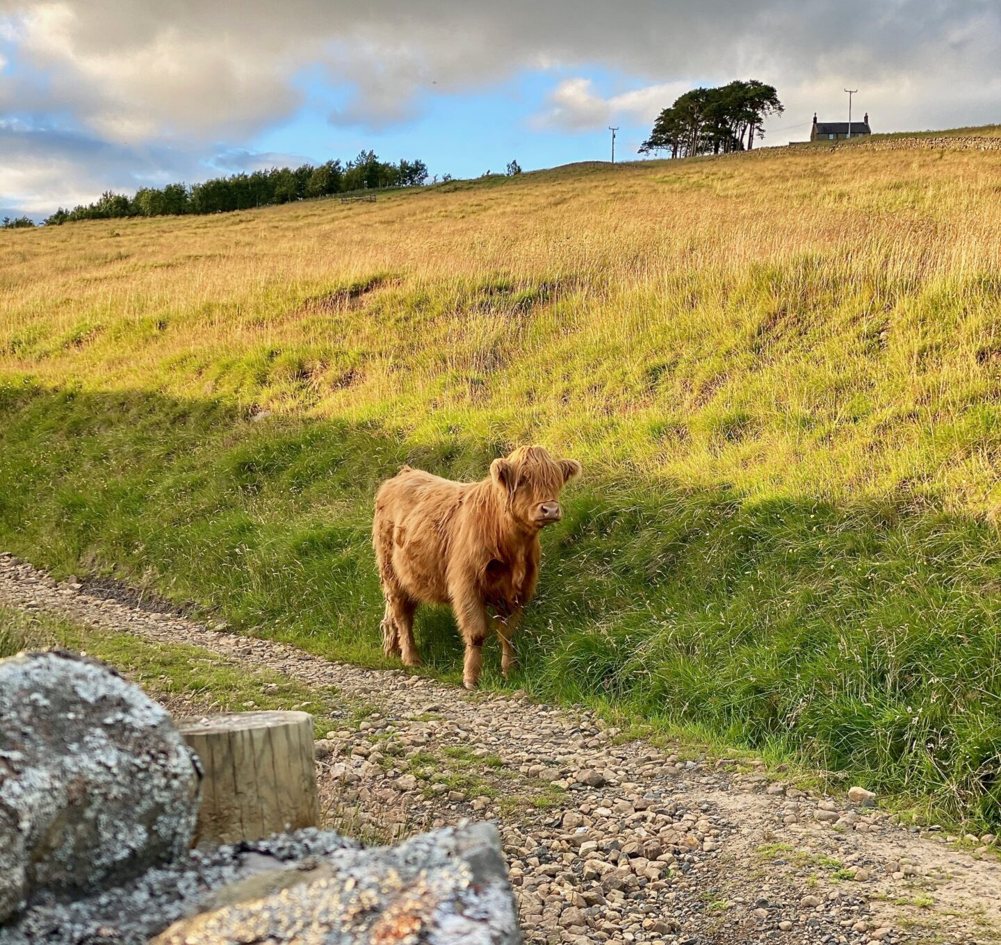 A beautiful brown cow with a big fringe